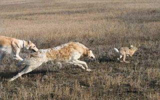 Как охотиться на зайца: зимой, осенью, видео, зимняя охота, без собаки, тропление