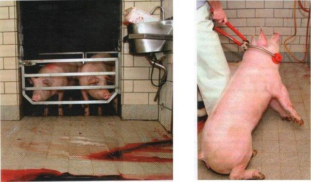 Можно ли убить электрошокером человека, свинью или курицу. Жми!