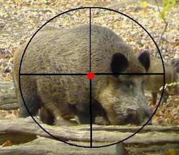 Как охотиться на кабана: с гладкоствольным оружием, видео, с подхода летом, осенью, загоном, на секача